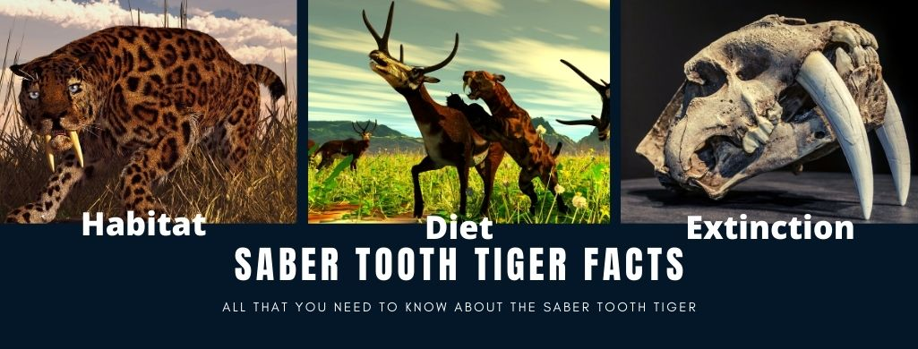 Saber Tooth Tiger Facts