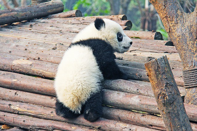 Giant Panda Facts For Kids - Learn All About Pandas - Kidz ...