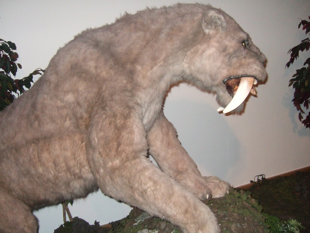 Saber tooth tiger size of teeth
