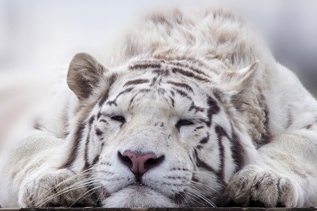 why are white bengal tigers endangered