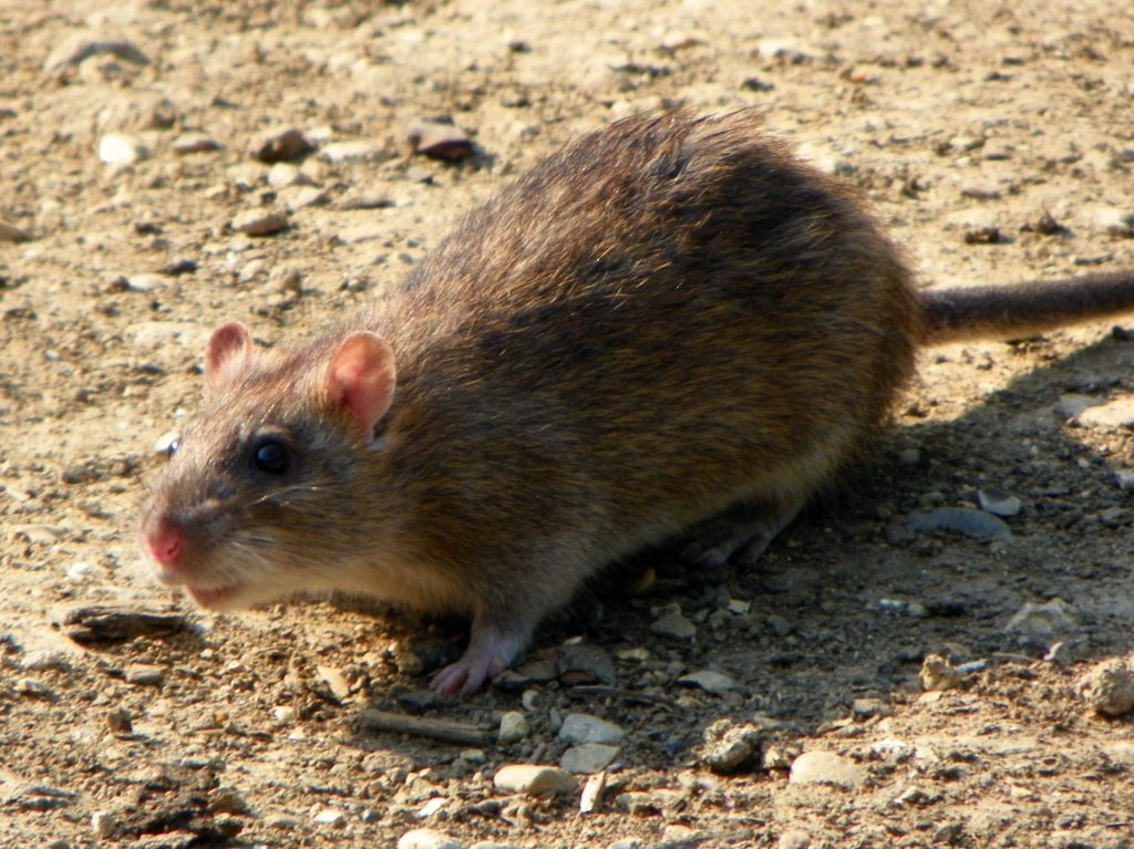 Brown or Norway rats