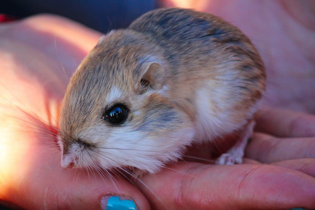 Kangaroo rats - What do Barn Owls Eat