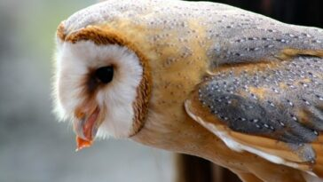 what barn owls eat - barn owl diet