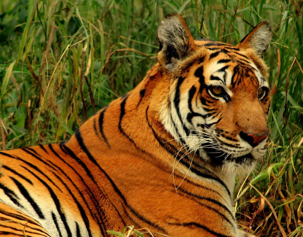 How Long Do Bengal Tigers Live