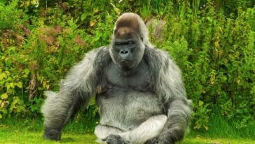 Gorilla Facts For Kids