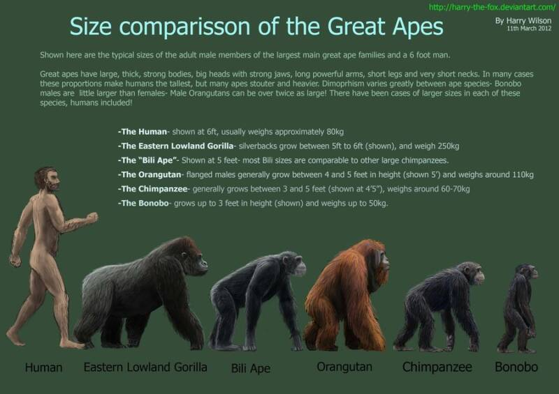 Gorilla Size Comparison