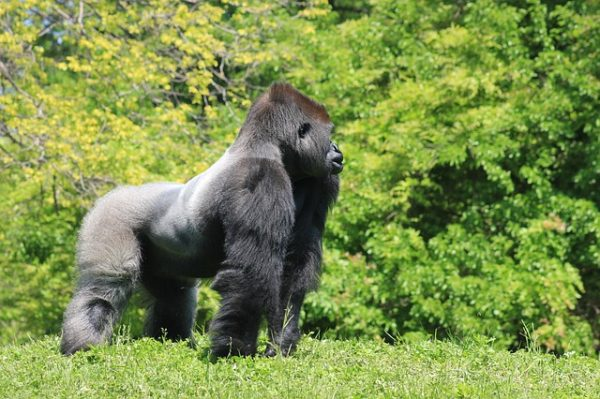 Silver Back Male Gorilla Facts