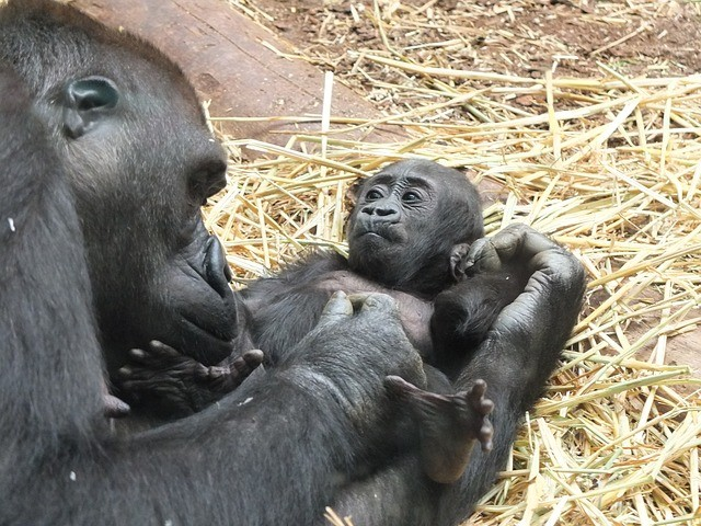 baby gorilla facts