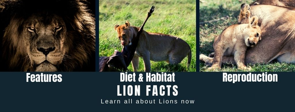 Lion Facts For Kids