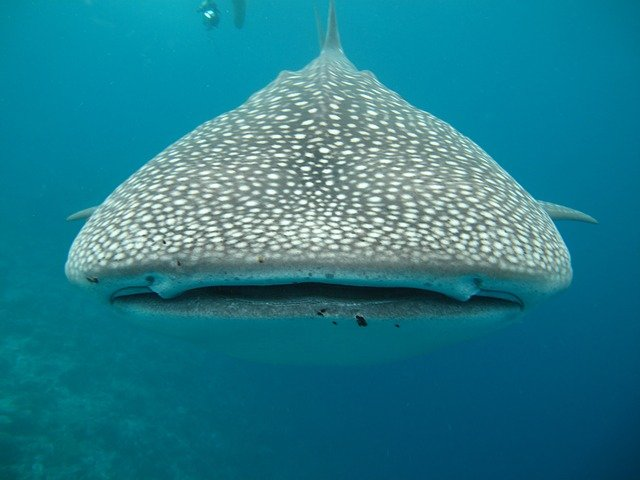 Whale Shark Information