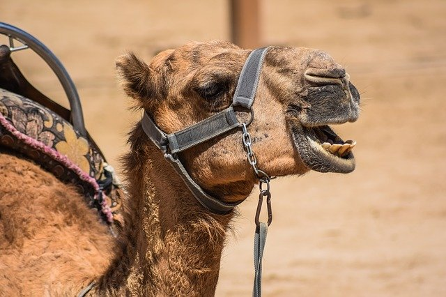 What Does A Camel Look Like