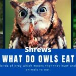 What do Owls Eat - Owls Diet