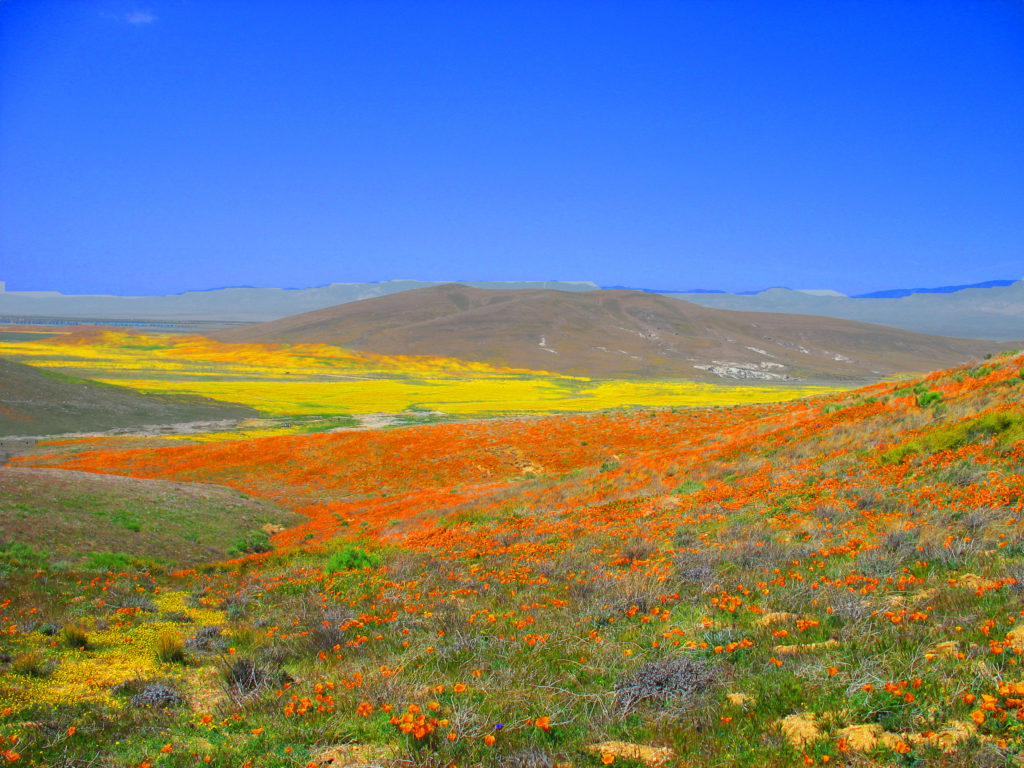 California facts for kids - poppy bloom