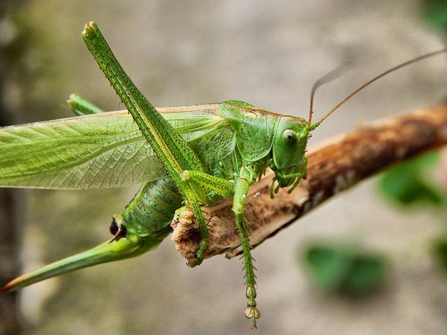 What Do Grasshoppers Eat - Grasshopper Diet