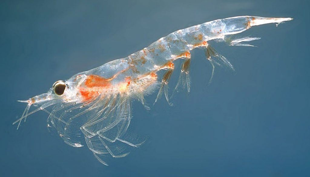 what do blue whales eat - krill