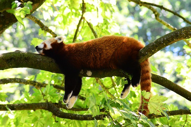 Red Panda Facts