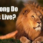 How Long Do Lions Live - Lion Lifespan