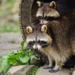 Raccoon Facts For Kids