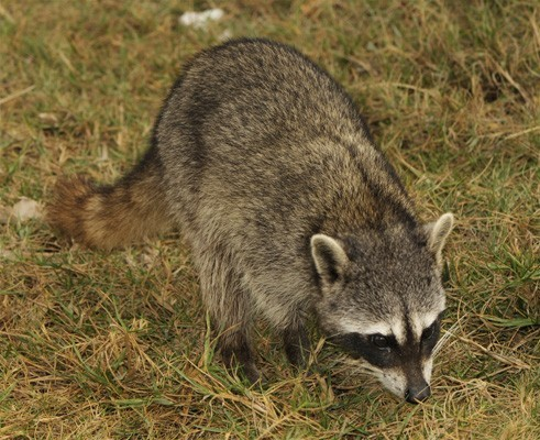 The Cozumel raccoon (Procyon pygmaeus)