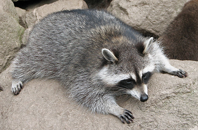 The common raccoon (Procyon lotor)