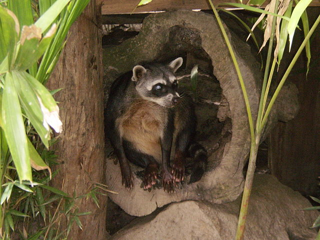 The crab-eating raccoon (Procyon cancrivorus)