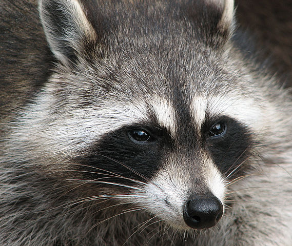 What Does A Raccoon Look Like