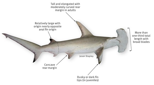 Hammerhead Shark Diagram