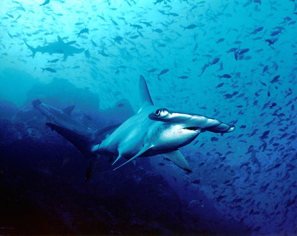Hammerhead Shark Facts For Kids