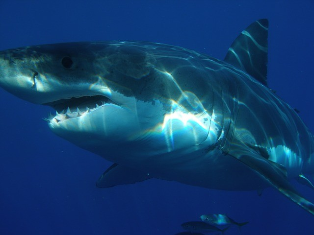 Great White Shark Appearance