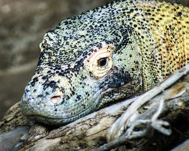 komodo dragon facts for kids