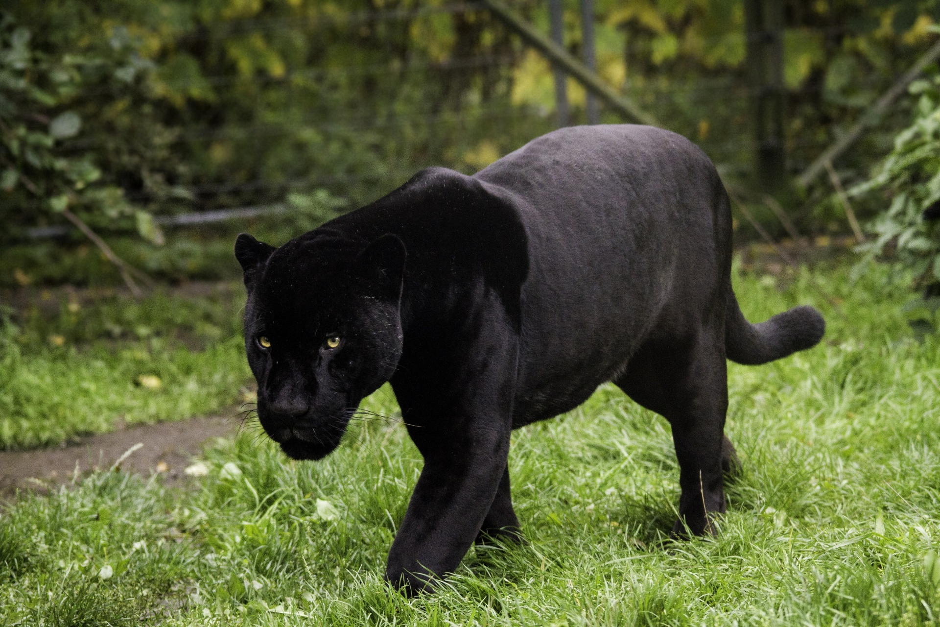 Black Panther Habitat