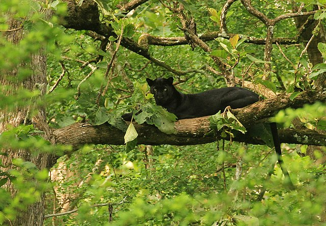 Black Panther in a Tree