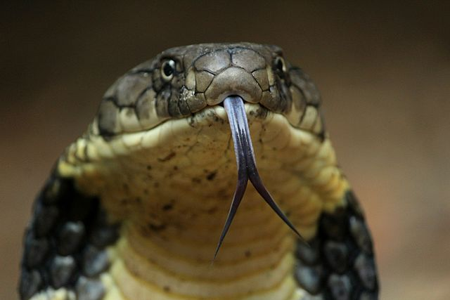 King Cobra Head
