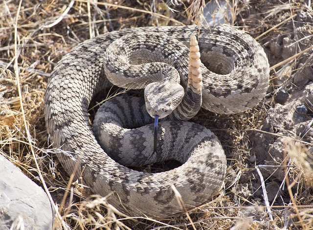 all about rattlesnake