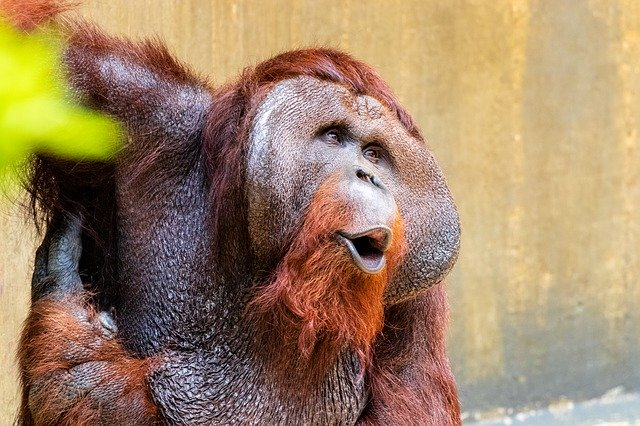 All About Orangutans