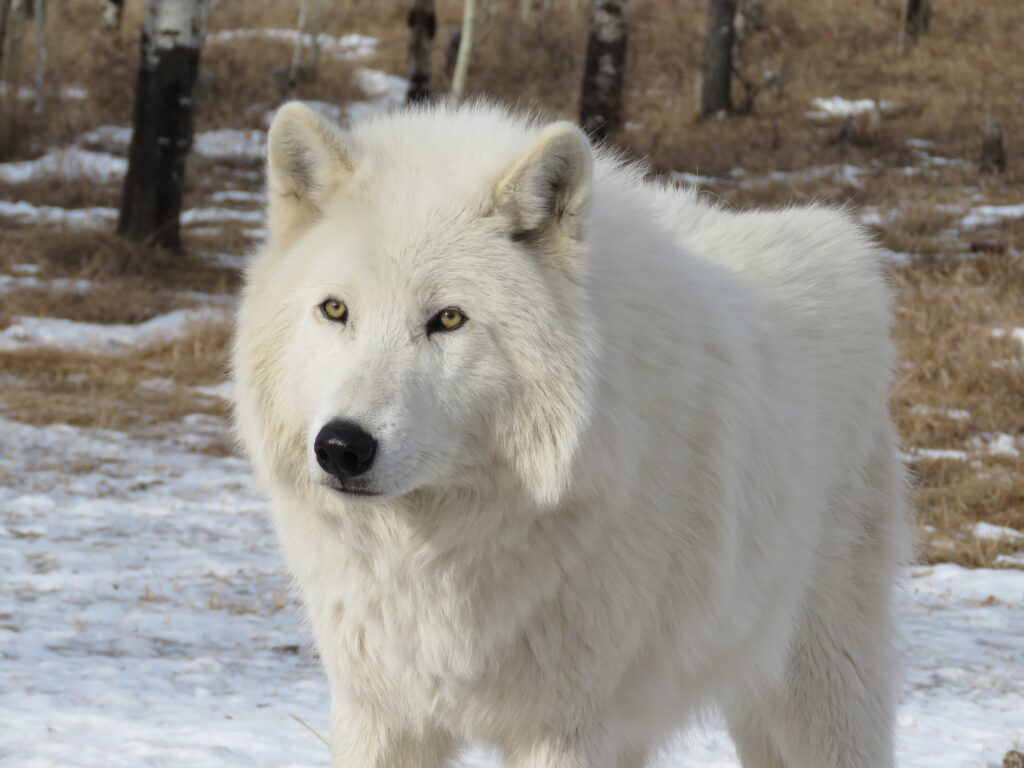 Arctic Wolf Appearnce