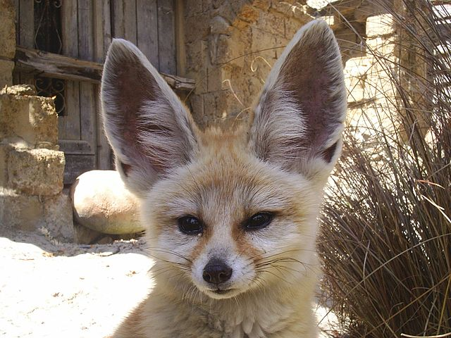 Fennec Fox Ears