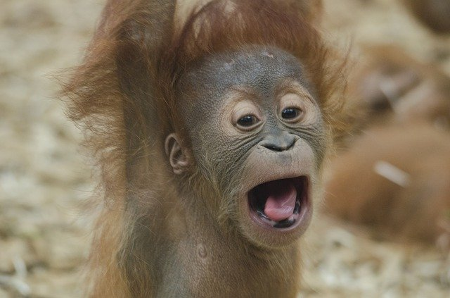 Orangutan Baby Facts