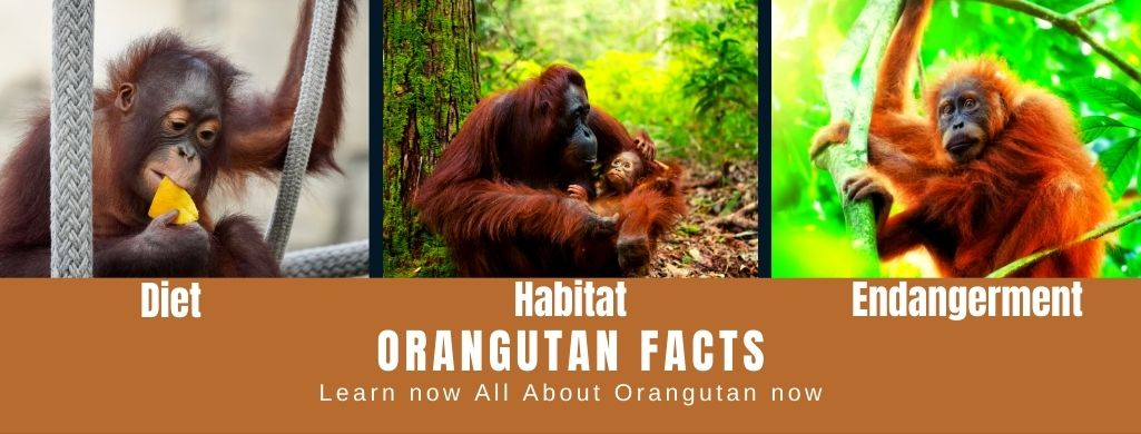 Orangutan Facts For Kids - All About Orangutan