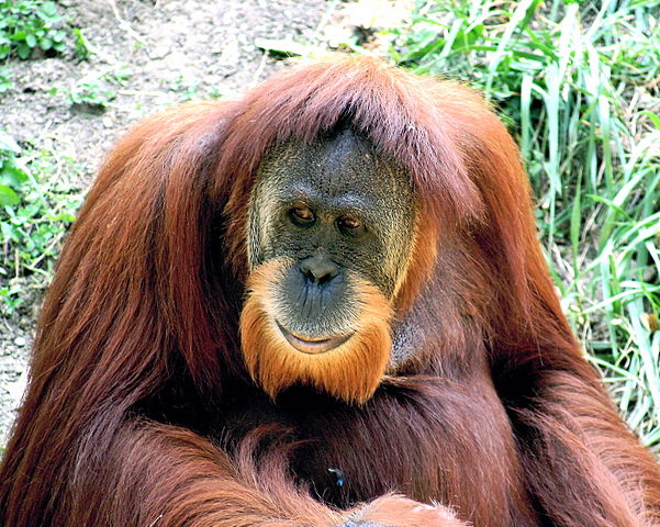 Orangutan Facts For Kids