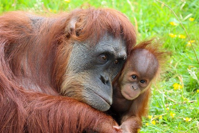 Orangutan Mother And Baby Relationship