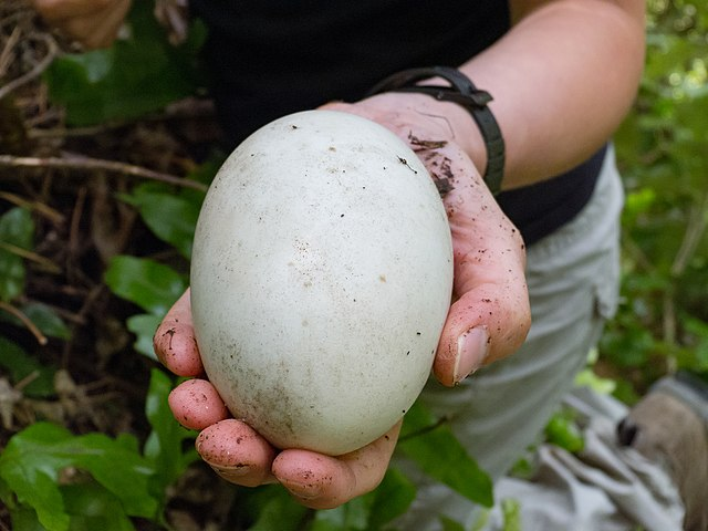 Kiwi Bird Egg Size