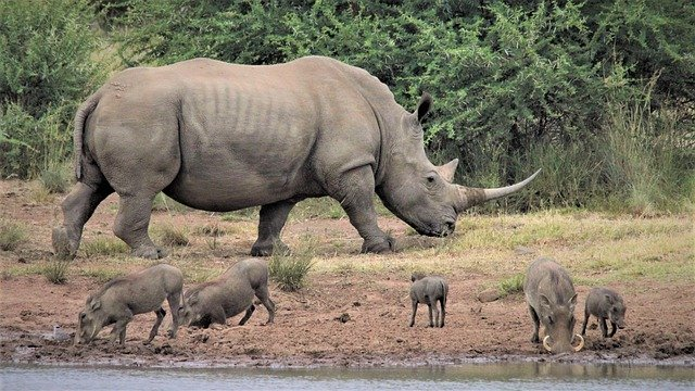 Rhino Facts For Kids