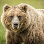 Grizzly Bear Facts For Kids