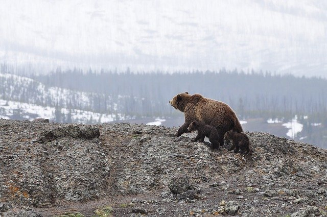 Grizzly Bear Reproduction