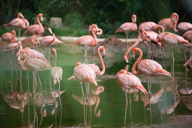 Flamingos Information For Kids