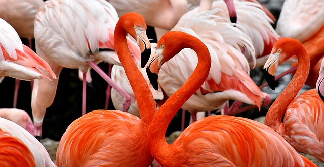 Flamingos Information