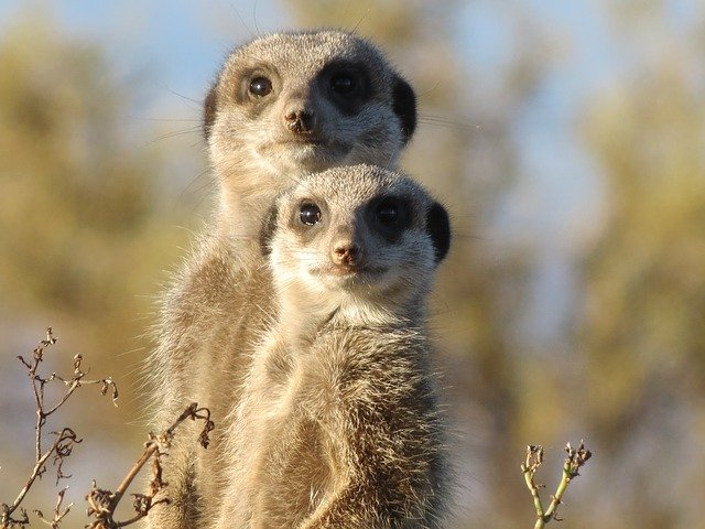 Meerkat Facts For Kids - Meerkat Information For Kids