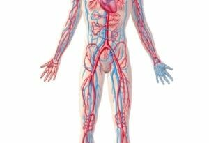 Circulatory System facts for kids