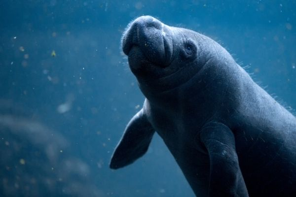 Manatee baby facts